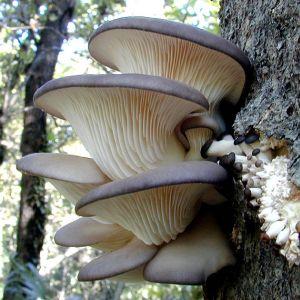 1 oyster mushroom